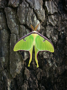 Adult luna moth on a tree.
