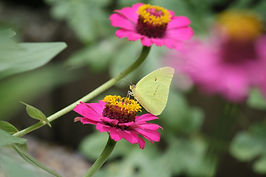 A cloudless sulphur butterfly sipping nectar from a purple zinnia flower.