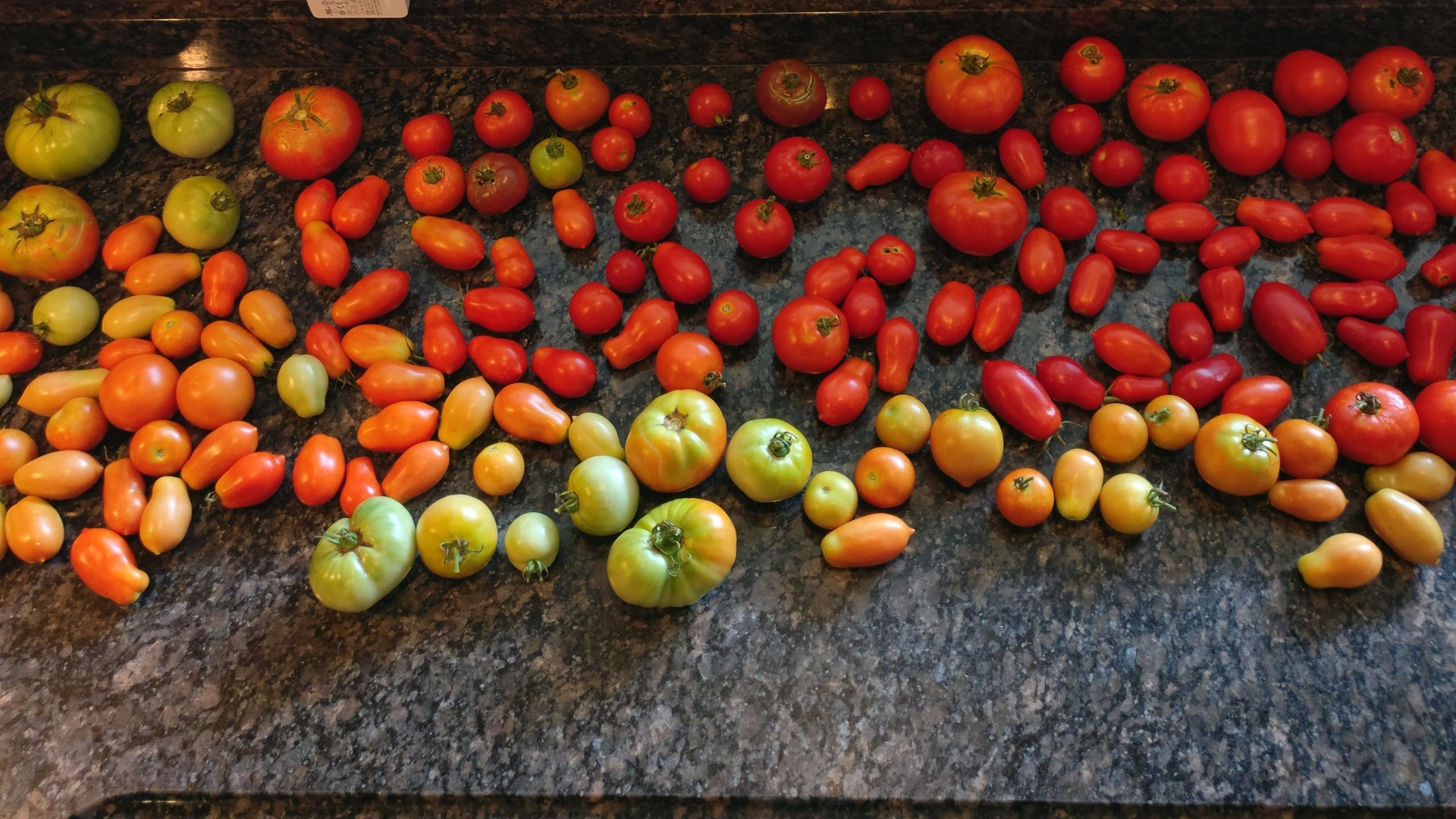 Tomato Harvest 14 June 2018