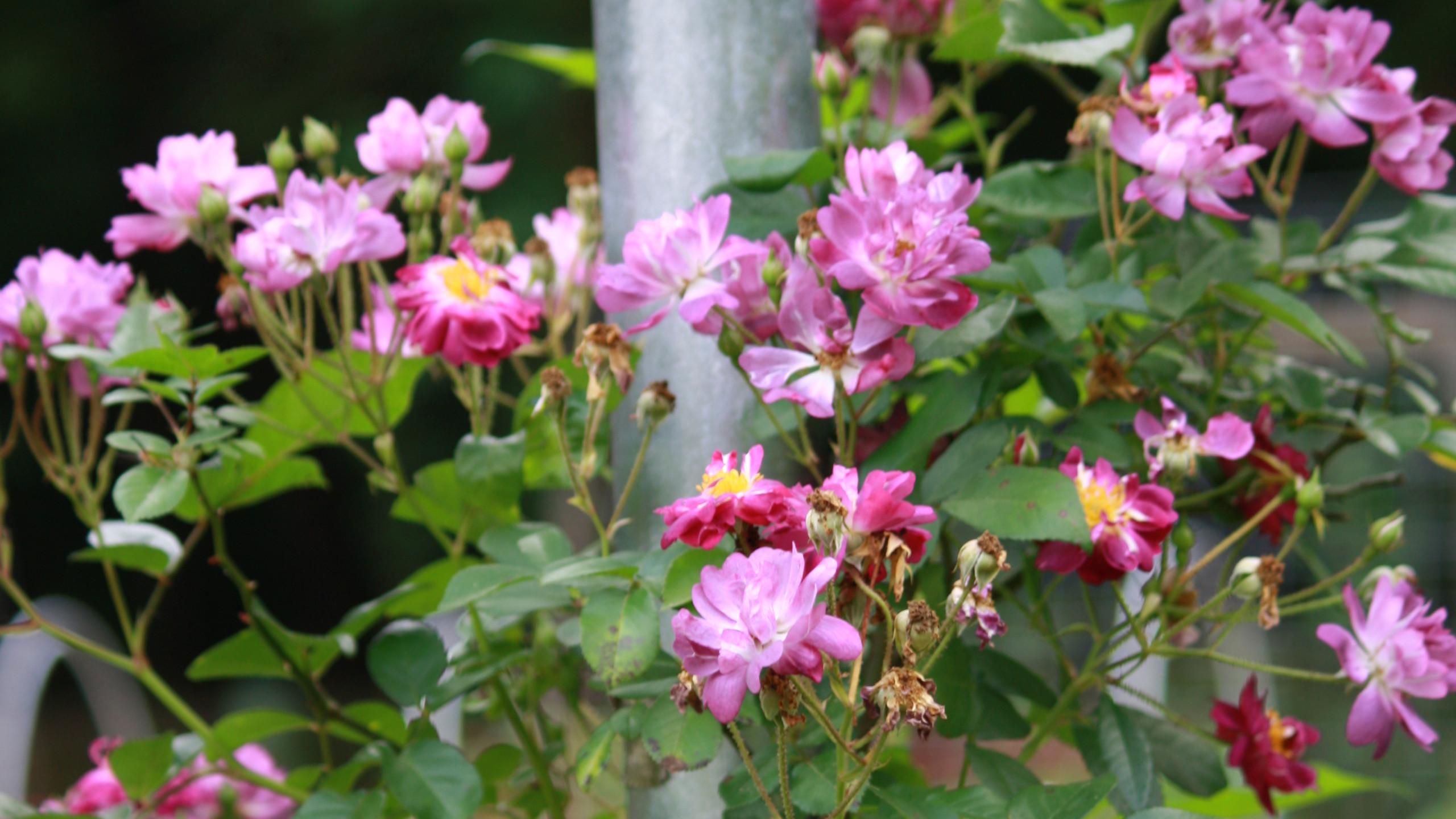 Rose - 'Veilchenblau'