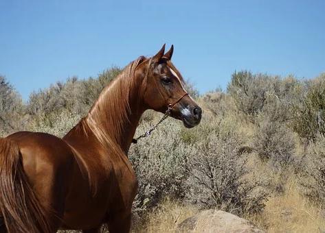 Efsaneleşmiş bir ırk: Safkan Arap atları hakkında her şey