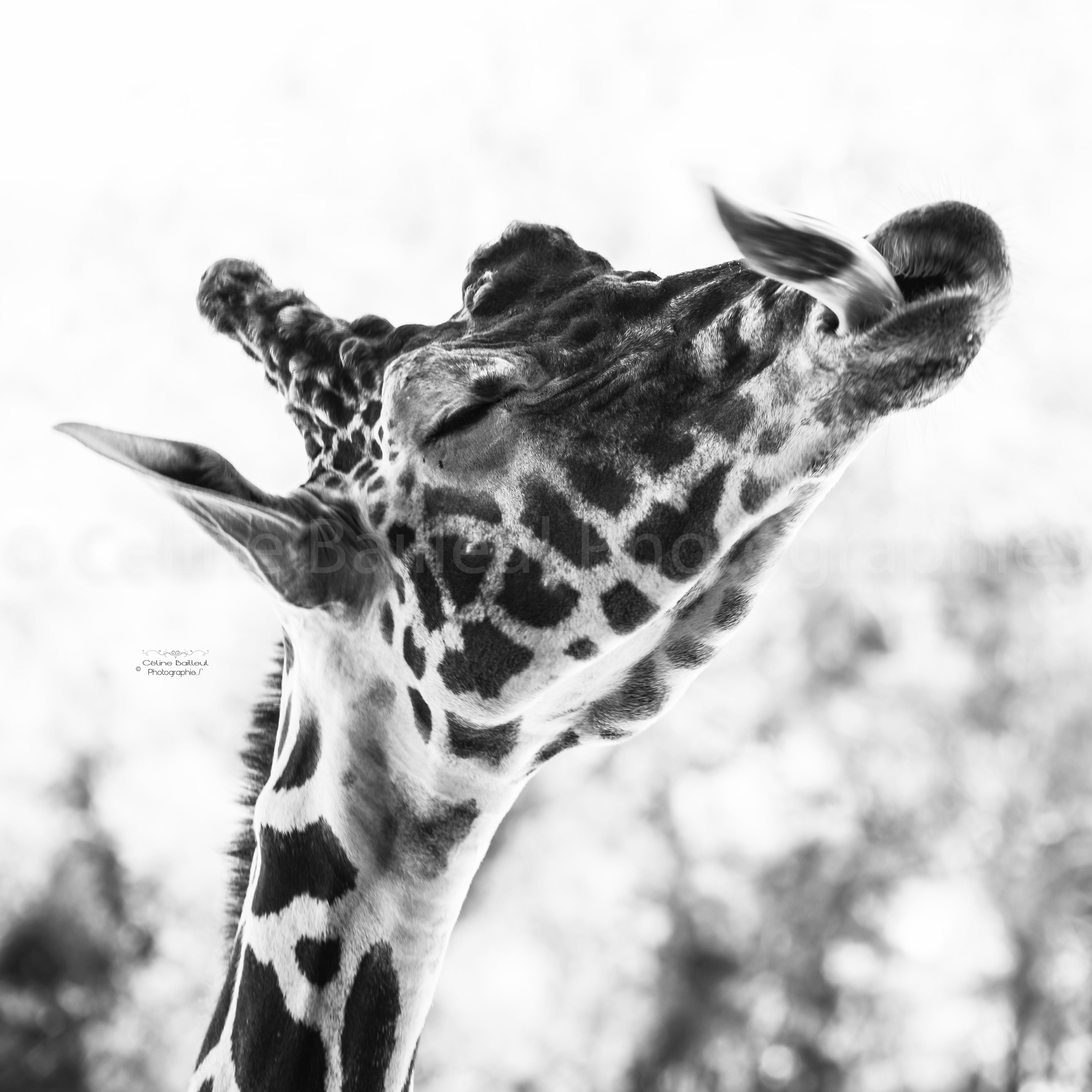 Girafe cb photographies bat 100X100BATOK