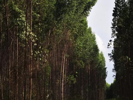 Mudanças climáticas podem comprometer plantio de eucalipto