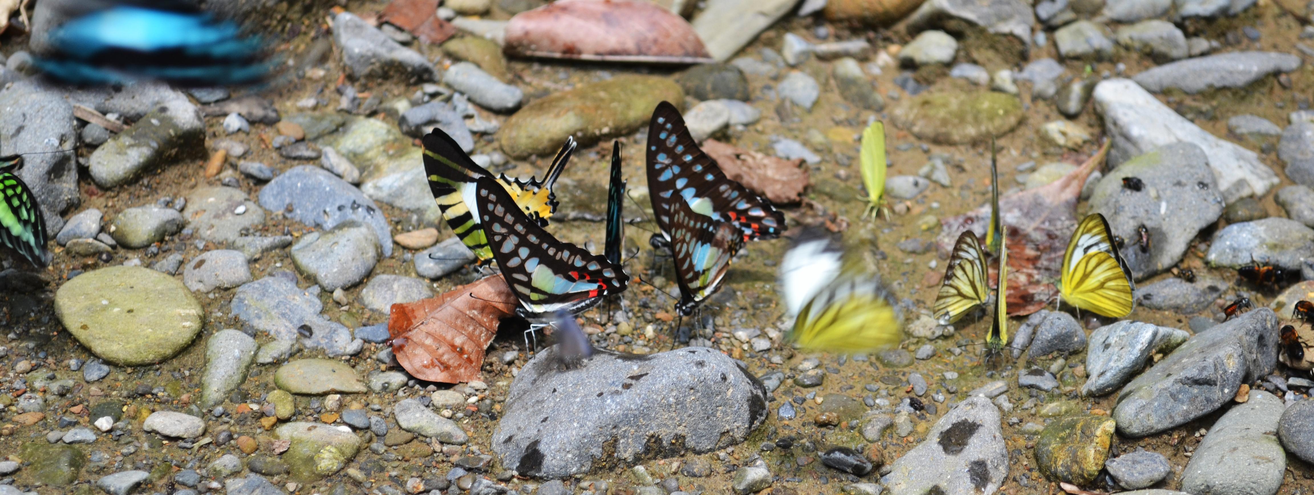 Butterflies in Sumatra.