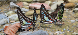 Butterflies feeding.