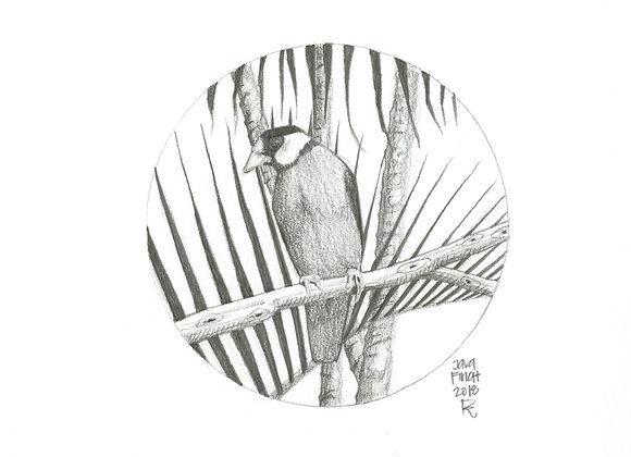 Oahu Java Finch / Original Pencil