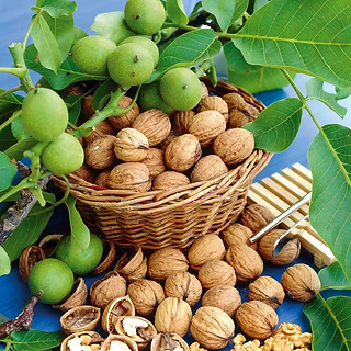 Walnuts_Tree2_600x600.webp