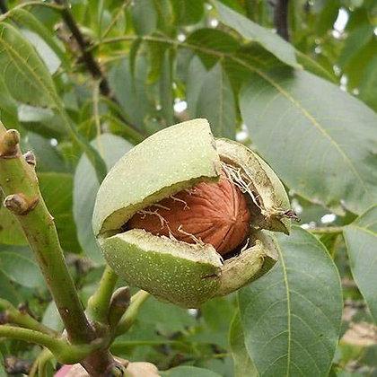 Kashmiri Almond (Mamara) with Shell