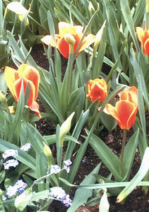 Photo of a flowerbed with red and yellow tulips.