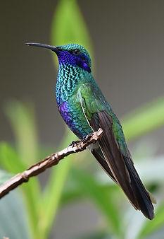 stockfoto på blågrön kollibri sittandes på en gren