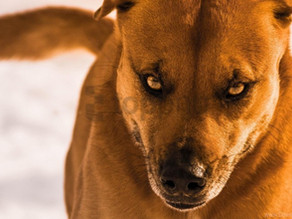 Aggression Pt2: A True Protection Dog vs An Insecure Jerk Dog