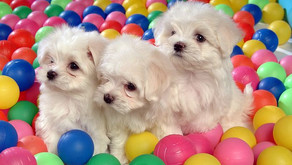 The Ball Pit at McDonald's: Why Dog Parks are Not the Place to Teach Your Dog Socialization