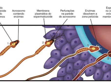Como ocorre a fusão entre a membrana celular do oócito e a do espermatozóide?