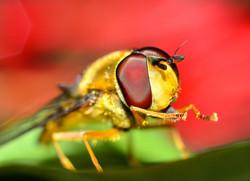 Mosca de las Flores (Syrphidae)
