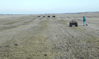 Swath Grazing: Extending the Grazing Season