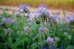 Bees on Phacelia - Sonja Bloom