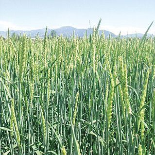 Opportunities for Cover Crops in Shorter Growing Seasons