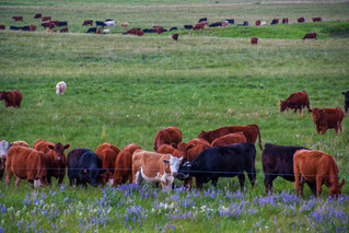 Here's What Reducing Pasture Recovery Periods Can Cost You