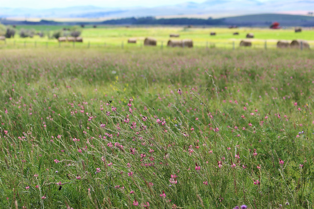 Mixed grass/legume pasture