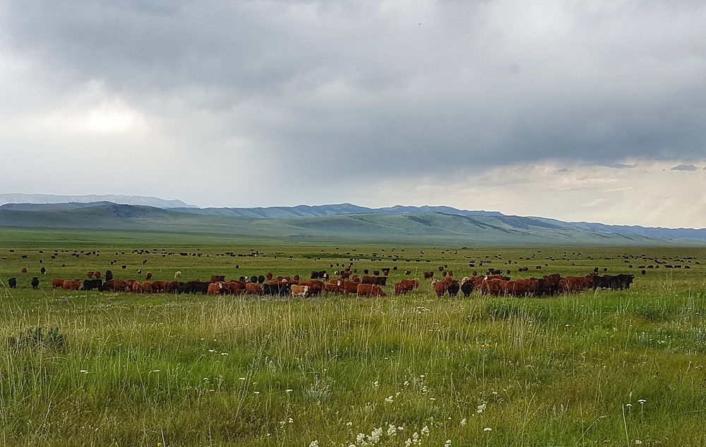 Cattle cell grazing at the Waldron Ranch. Photo credit Sonja Bloom