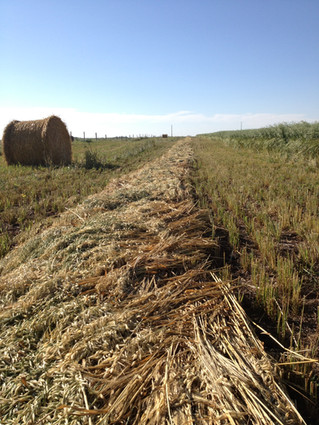 Another look at the costs and benefits of swath grazing