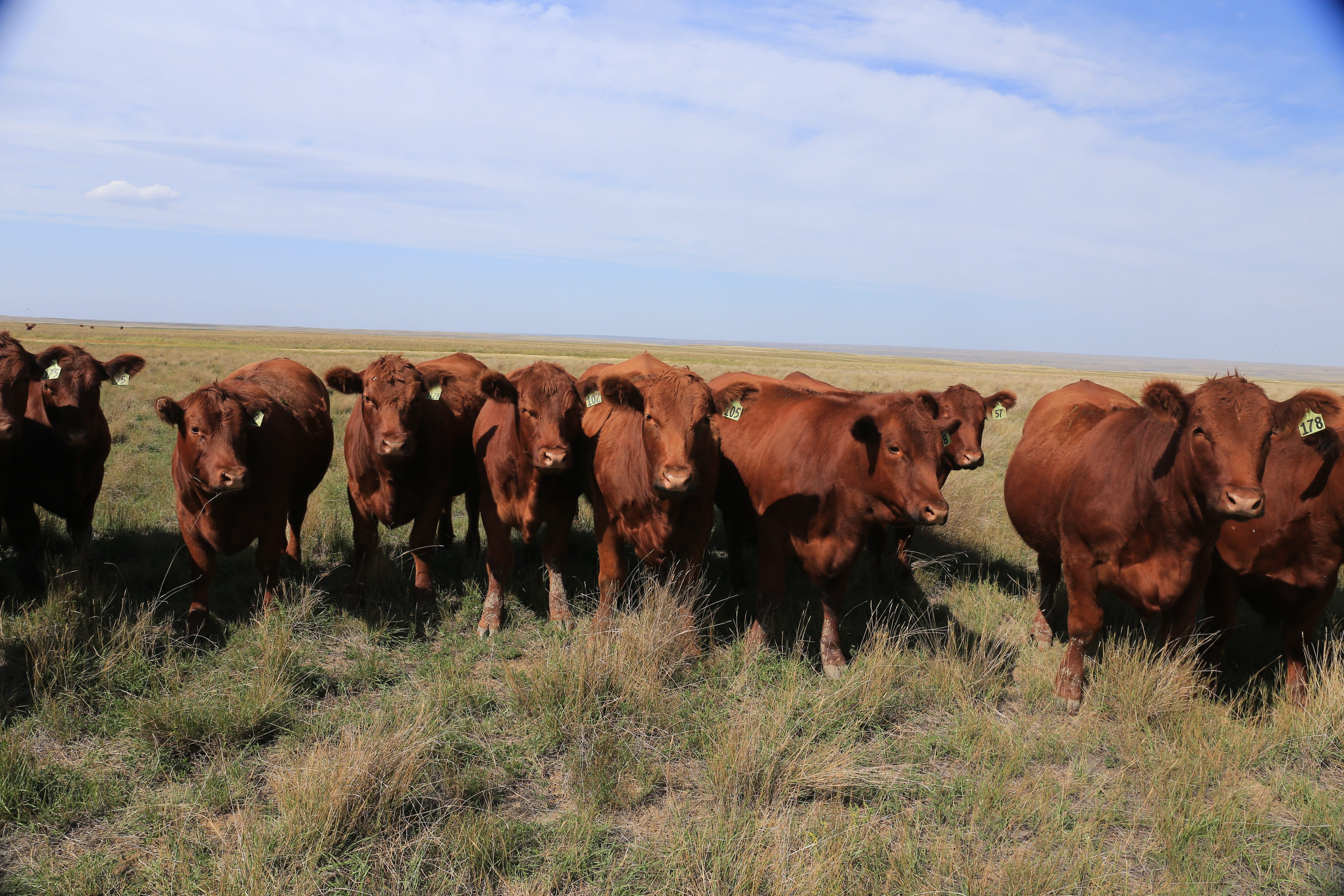 Cattle LG