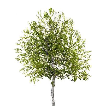 Birch tree isolated_edited.jpg