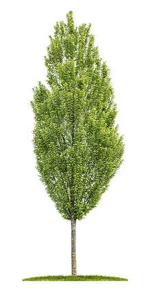 Isolated hornbeam tree on a white backgr