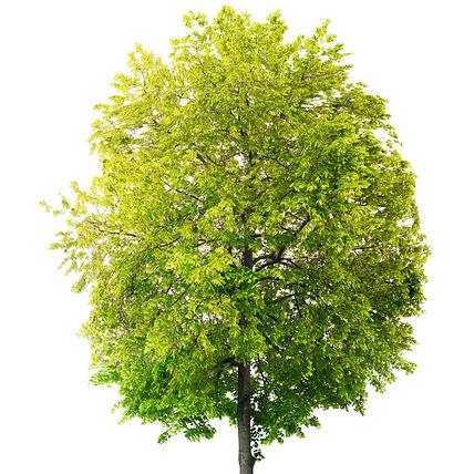Isolated Linden tree_edited.jpg