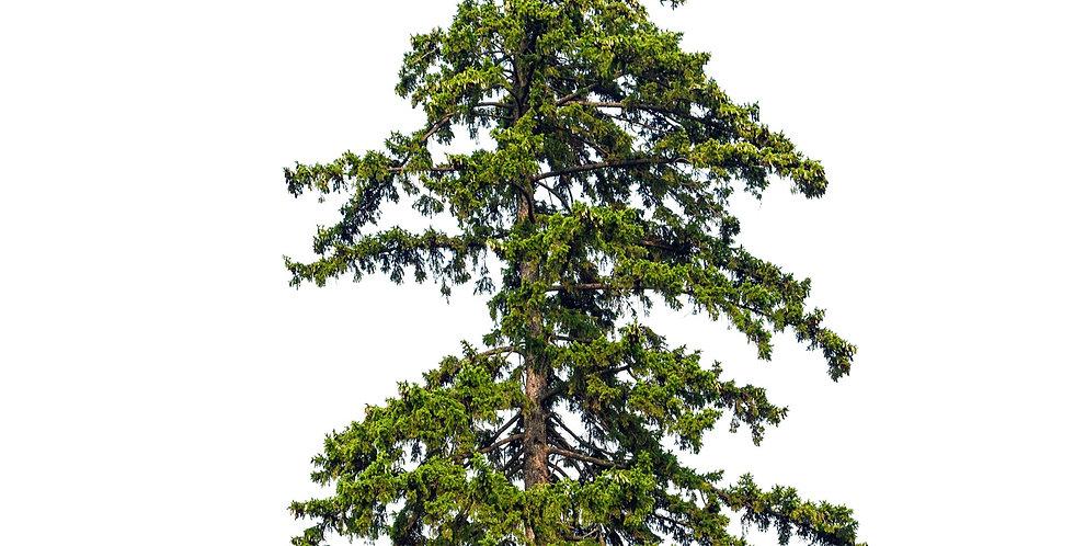 Weißtanne ohne Baumnummer