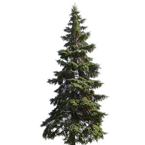 Giant spruce tree isolated on white back