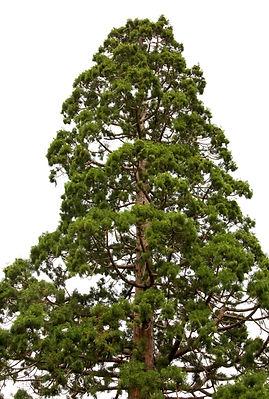 Top of old majestic sequoia tree (Sequoi