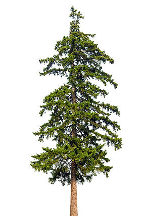 Fir tree isolated on white background.jp