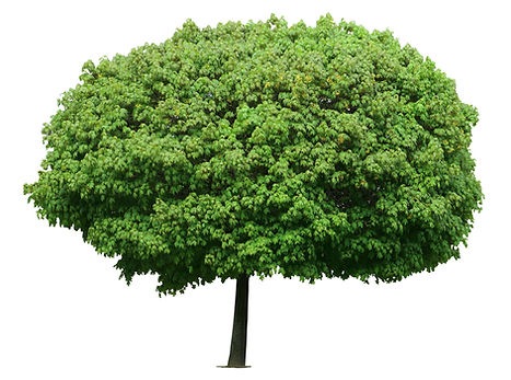 Young fresh marple tree isolated on whit