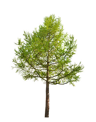 green larch isolated on white background