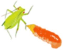 Ceciidomyiidae.jpg