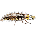 Crisopa larva.png
