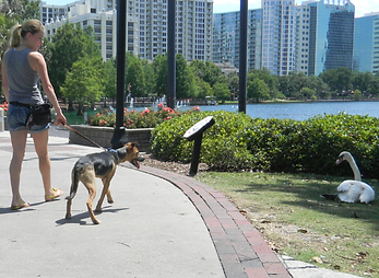 "Distraction training at Lake Eola and leash walking and ""leave it"""