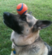 German Shepherd balances ball on nose dog trick.