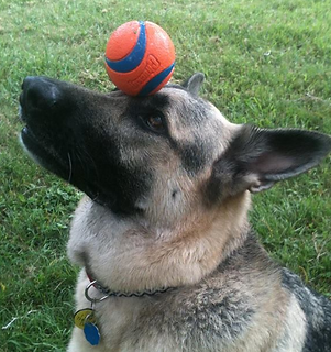 German Shepherd balances ball on nose dog trick.