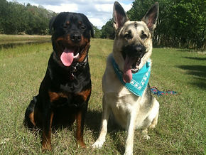 Rottweiler and German Shepherd in training