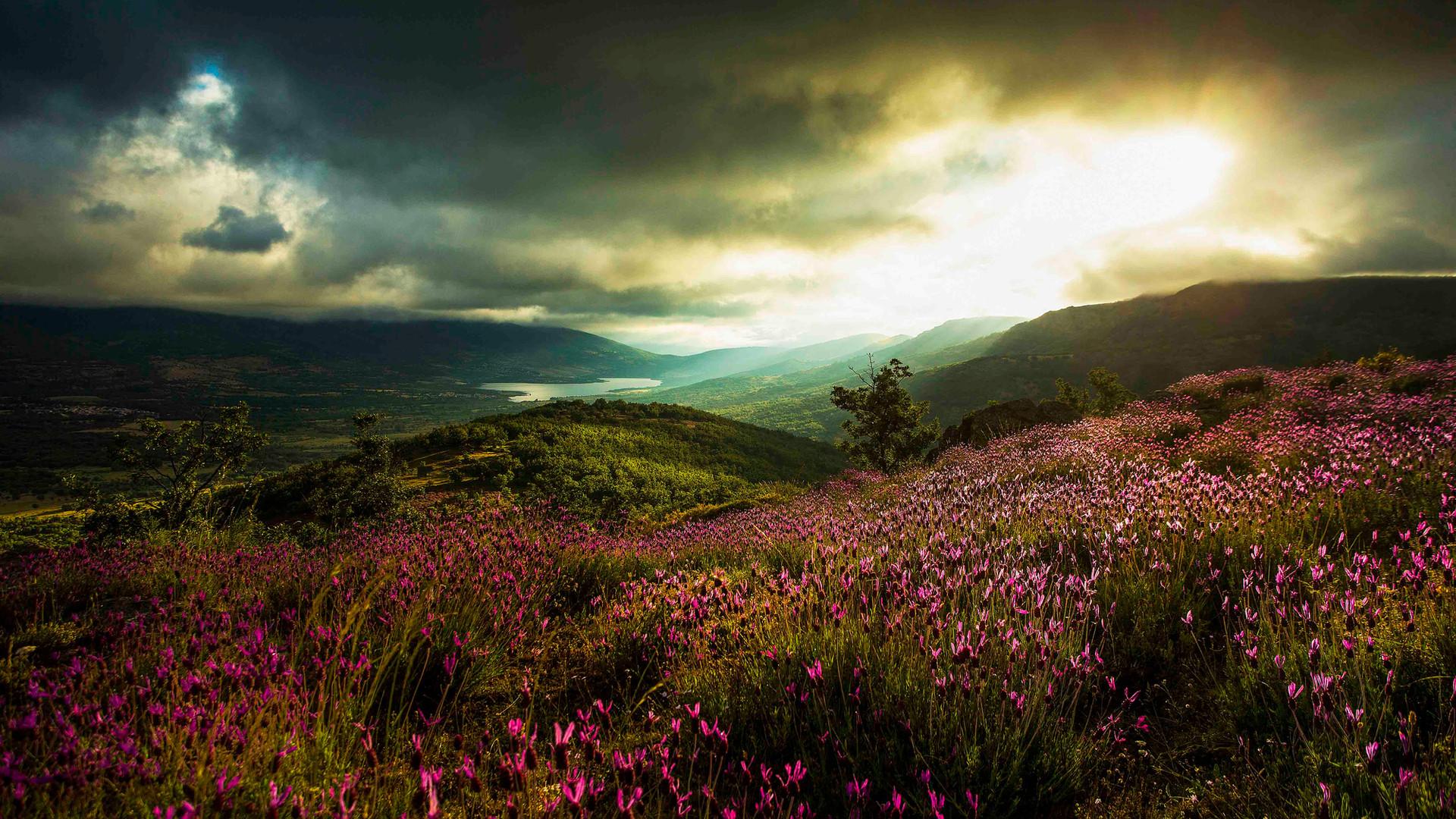 Floración del cantueso