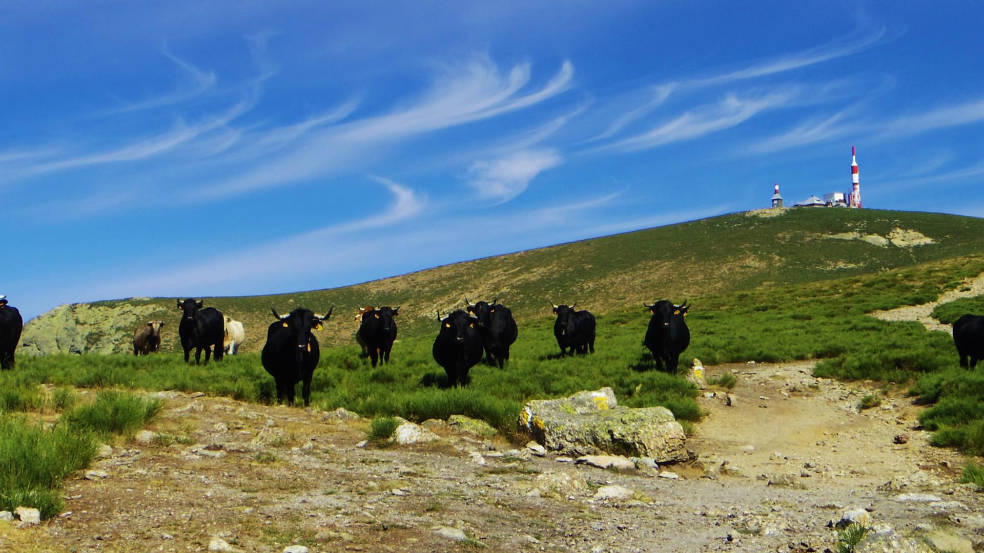 Vacas avileñas