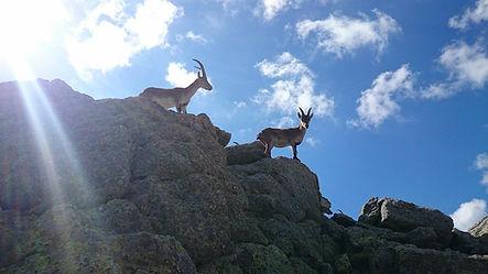CANO Cabras en Cabezas de Hierro.jpg