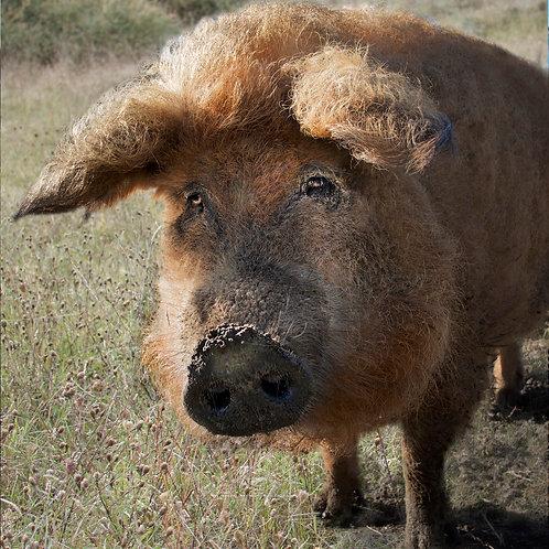 Coco le cochon