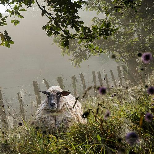 le mouton du voisin