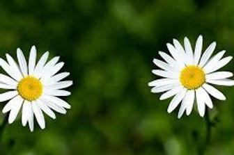 two daisies 2.jpg