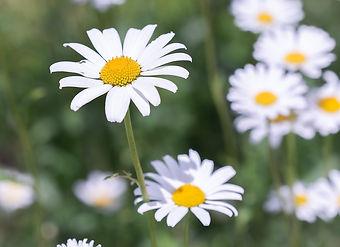 Daisy field.jpg