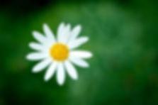 One Daisy.jpg