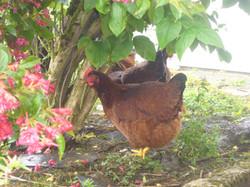 chickens 003.JPG